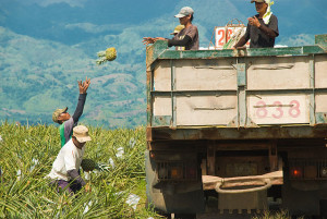 Dole_Pineapple_Harvesting